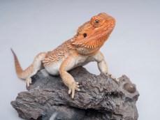 Bearded dragon on a rock