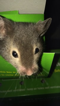 Baby black Syrian hamster in box