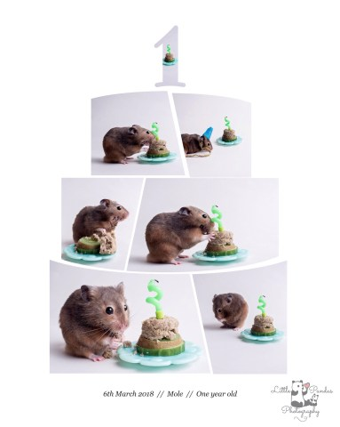 Hamster cake smash collage photo