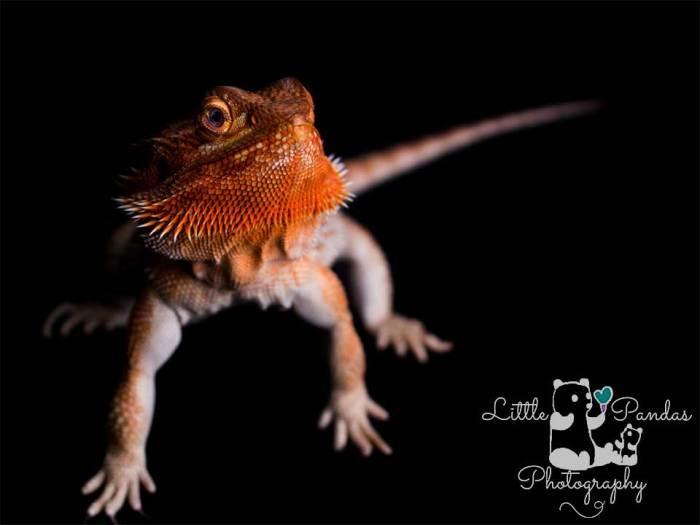 orange bearded dragon on black background