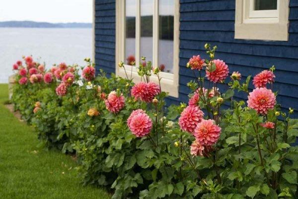 Dahlia garden design