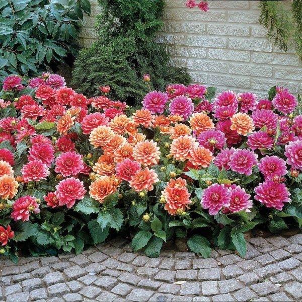 dahlia flower beds