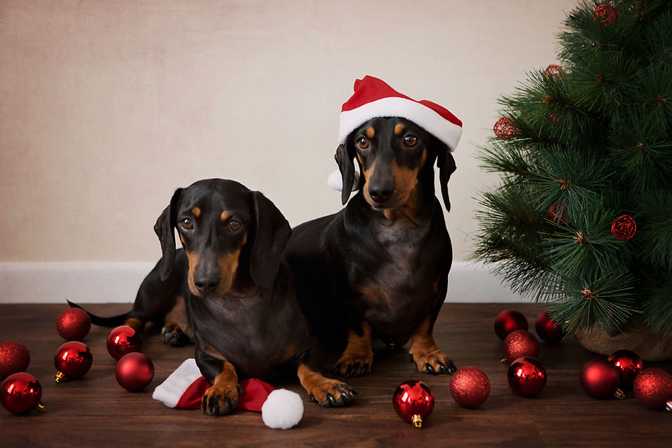 Brisbane Christmas Pet Photography