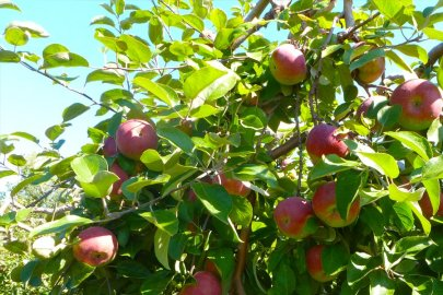 Apple Trees 1