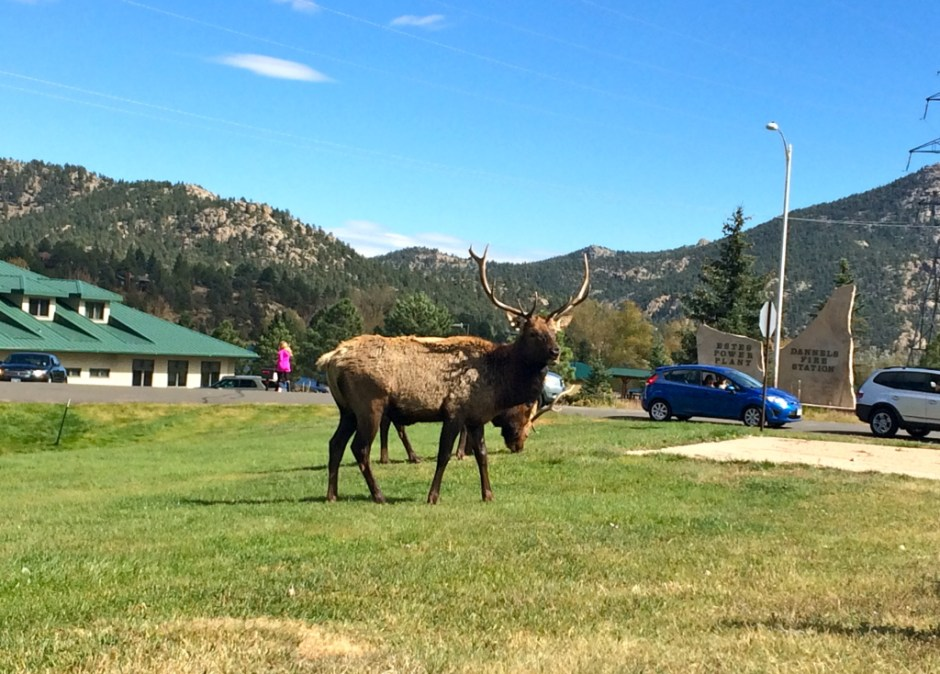Elk casually grazing on the side of the road