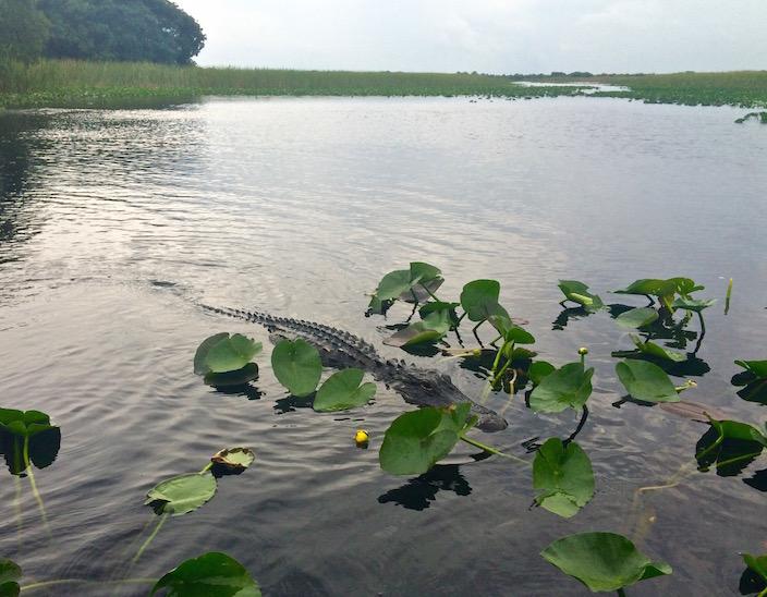 Alligators Airboat Tour Fort Lauderdale Everglades