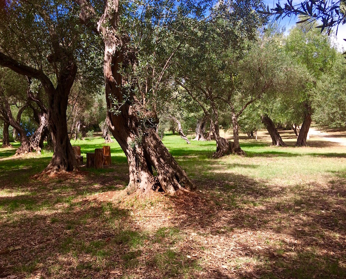 Olive Groves Island of Lokrum
