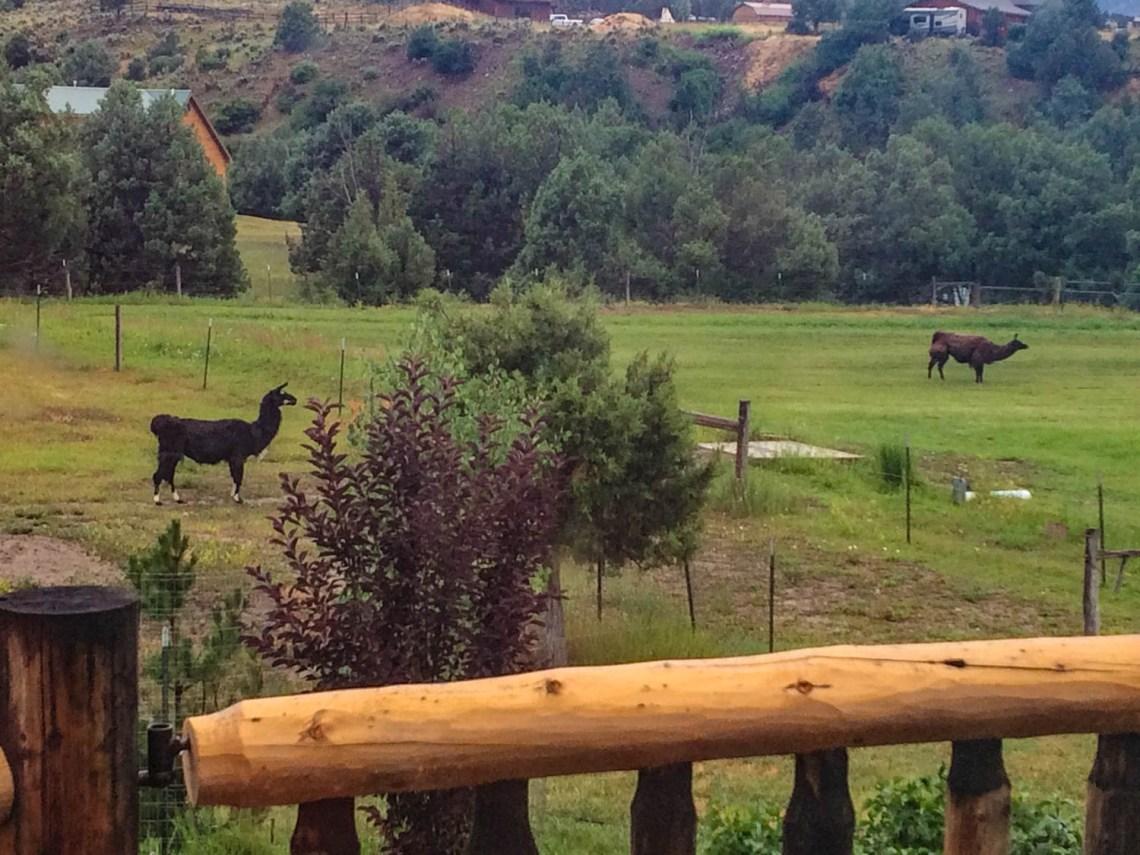 Llamas Ridgway Colorado