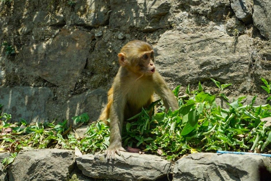 Cute but Sneaky Monkey - Kathmandu Nepal