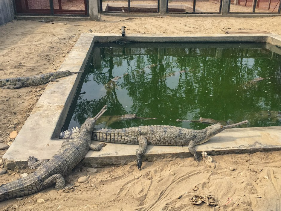 Gharial Corcodile Conservation Breeding Center - Chitwan National Park