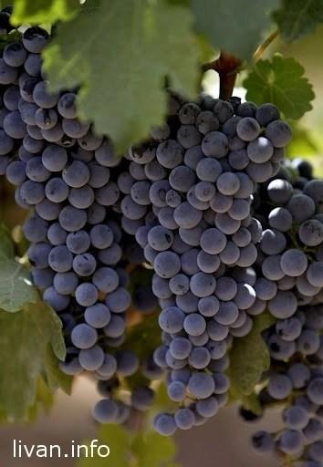 Виноделие в Ливане