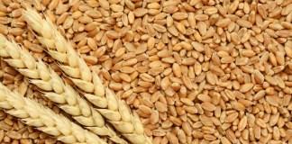 Ливан нашел канцероген в пшенице из России