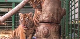 В Ливане спасли трех умирающих тигрят с Украины