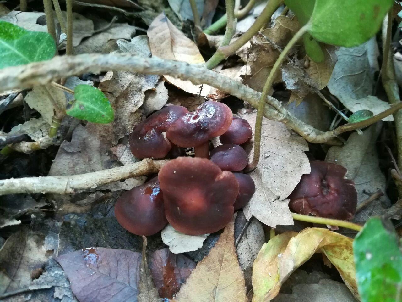 Дикие грибы в Ливане