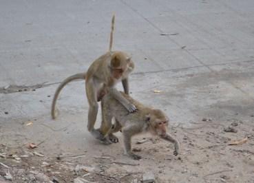 Monkeys Humping Roadside, Lopburi Monkey Town in Thailand, Southeast Asia