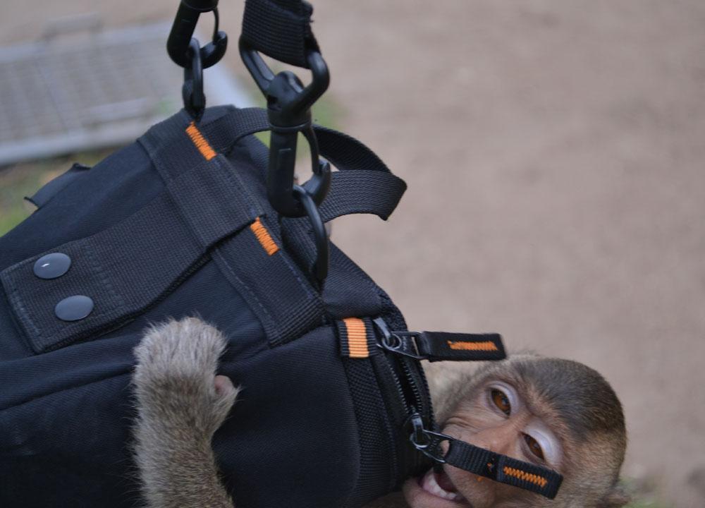 Dizzy Monkey, Lopburi Monkey Town in Thailand, Southeast Asia