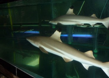 Pets from JJ Market Bangkok - Animal Cruelty - Blacktip Reef Sharks