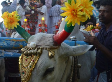 Oxen Pulling Chariot, Third Day of Thaipusam in Penang, Southeast Asia