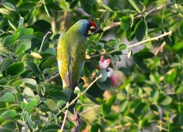 Coppersmith Barbet, Birds in Bangkok, Thailand Wildlife, Southeast Asia