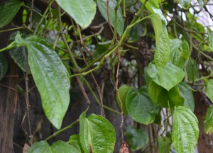 Plu Leaves, What is Betel Nut Chewing in Thailand, Southeast Asia