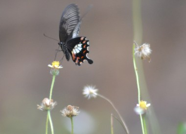Spotted Butterfly, Prasat Ta Muan Tod, Khmer Temples in Surin Thailand