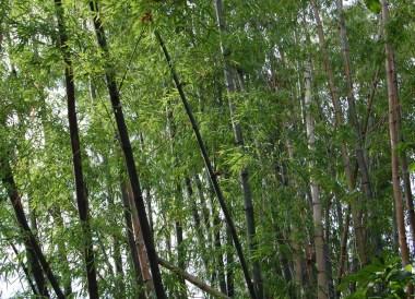 Bamboo Trees, Prasat Phanom Rung Historical Park, Buriram Isaan Thailand