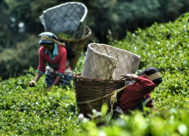 Assam Tea Fields, Himalayan Food, Eating in the Himalayas, Sikkim