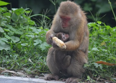 Rhesus Macaque, Taxi to Gangtok from Bagdogra, NJP, Road to Sikkim