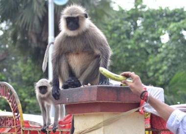 Fat Unhappy Langur, Dakshineswar Kali Temple, Hooghly River, Kolkata