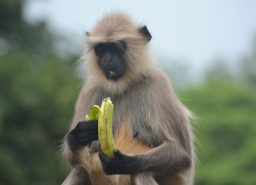 Gray Langur Eating Banana, Where to Find Monkeys in Southeast Asia?