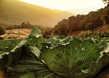 Cabbages at Sunset, Phu Chi Fa Mountains, Chiang rai, Thailand, Southeast Asia