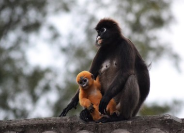 Silvery Langur Baby, Best Snorkelling in the Perhentian Islands Resort