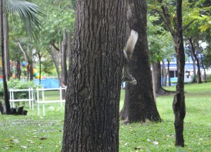 Wild Squirrels, Benjasiri Park in Sukhumvit Queens Park, Bangkok