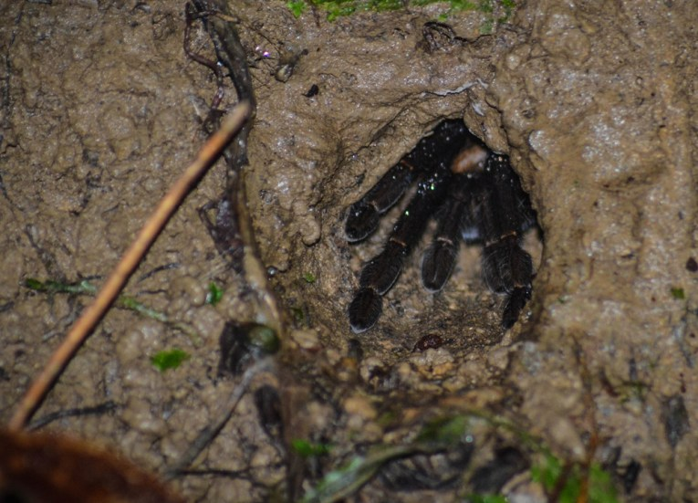 Tarantula Lair in Brunei, Phobias in Borneo Rainforests