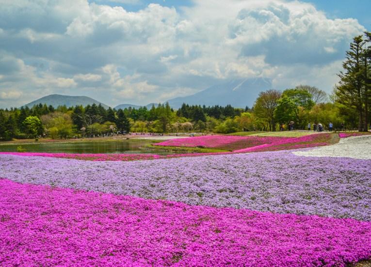 Pink Moss, Travel to Mount Fuji Shibazakura Flower Festival