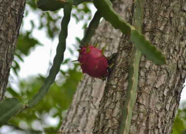 Dragon Fruit Tree, Weird Fruits of Thailand