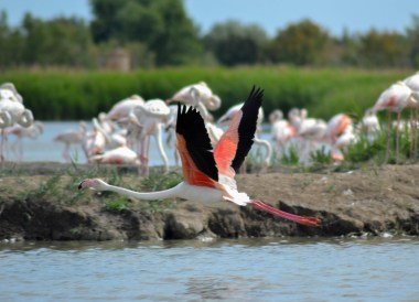Camargue Flamingos, Camargue National Park Provence France