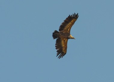 Vulture Over Alquezar Huesca, Northern Spain, Medieval Village
