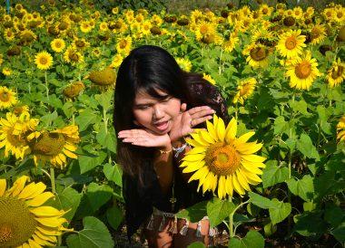 Sunflowers Field, Top Attractions in Khao Yai , Bangkok Travel