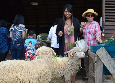 Feeding Alpacas, Top Attractions in Khao Yai , Bangkok Travel