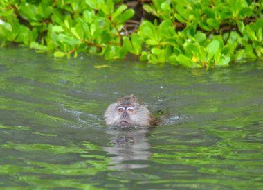 Swimming Monkeys, Langkawi Geoforest Park Tour Kilim, Resorts World