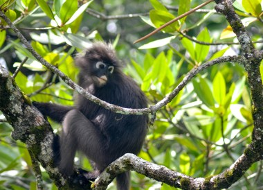 Dusky Leaf Monkeys, Resorts World Langkawi in Malaysia