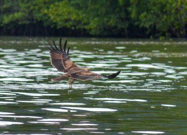 Eagle Feeding, Langkawi Geoforest Park Tour Kilim, Resorts World