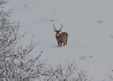 Wild Reindeer, Winter Road Trip in the Scottish Highlands Snow Scotland