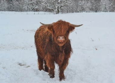 Highland Cattle, Loch Lomond Viewpoint Winter Road Trip in the Scottish Highlands Snow Scotland