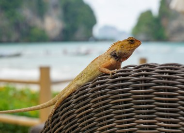 Friendly Thai Lizard, Centara Grand Resort and Villas Ao Nang Krabi Thailand
