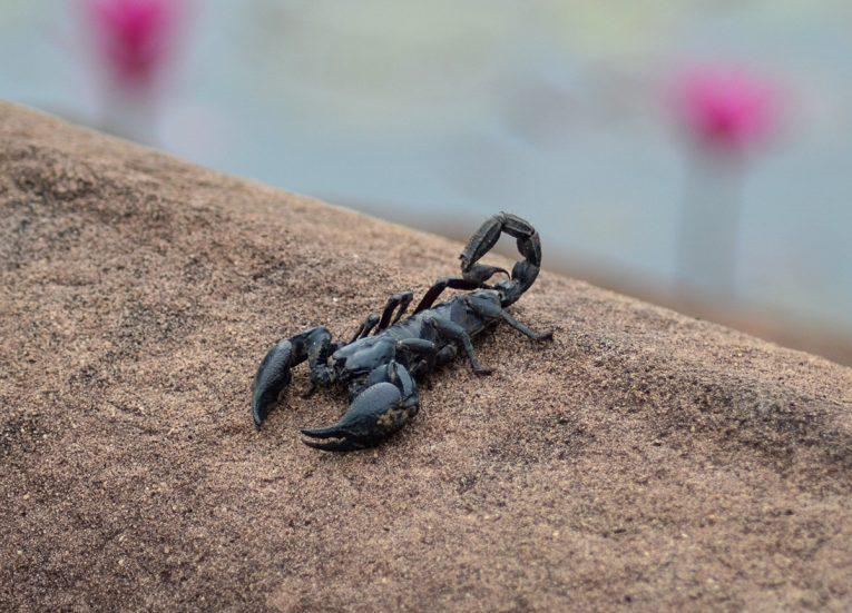 Thai Scorpion. Top Tourist Attractions in Buriram Thailand