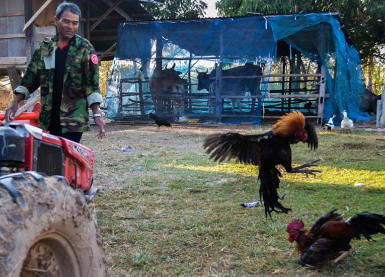 Cock Fighting in Backyard Life in Rural Thailand Isaan