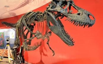 Gorgosaurus, dinosaur, Manchester Museum
