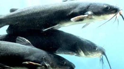Download Catfish Farming Business Plan in Nigeria PDF